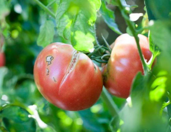 tomaty idealynie5