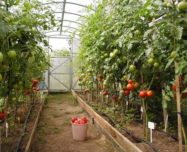 treskayutsya tomati5