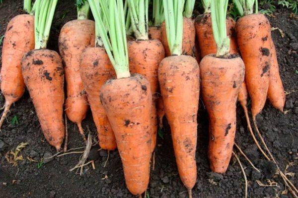 kak hranity morkovy4