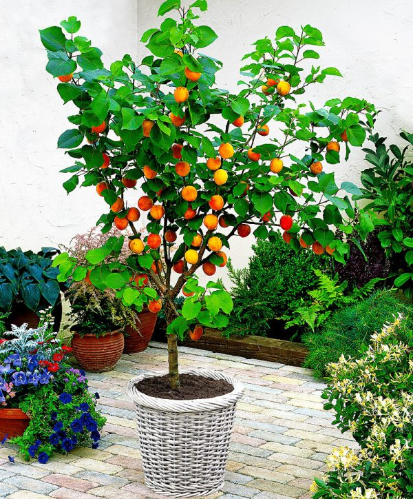 abrikos iz kostochki2