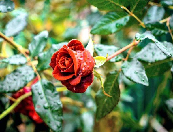 kak podkormity rozy osenyu