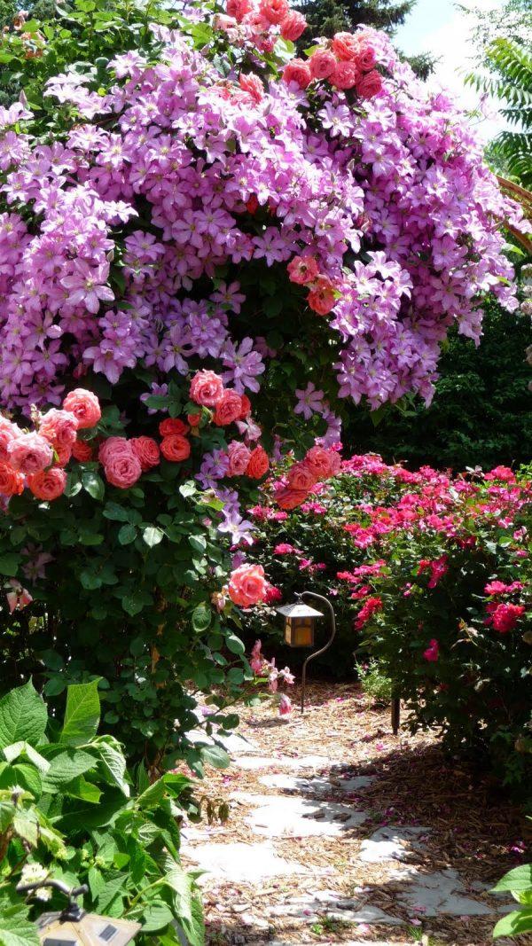 klematisi i rozi5