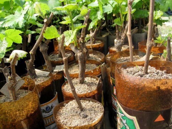 vinograd cherenkami visadka7