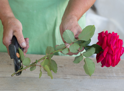 roza iz buketa3