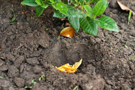 Apelsinovye korki kak udobrenie5