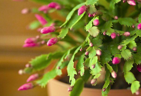 Заставить декабрист обильно цвести