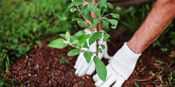 Как добиться 100% приживаемости саженцев фруктовых деревьев
