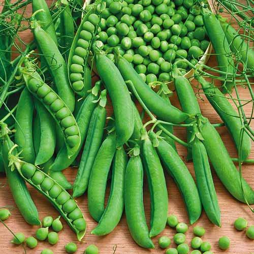 kogda sadity zeleniy goroshek7