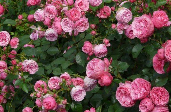 rozi ranney vesnoy