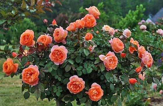 rozi ranney vesnoy5