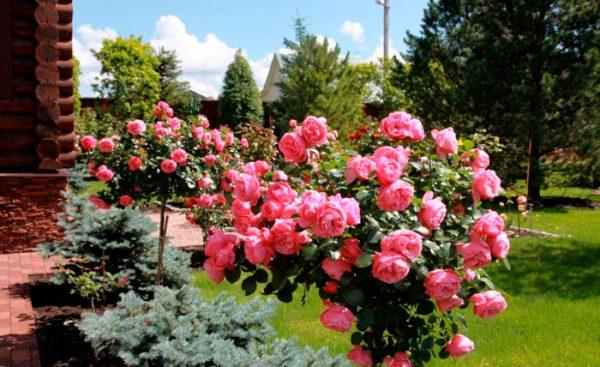 rozi v sadu6