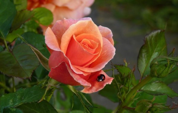 rozi v sadu7