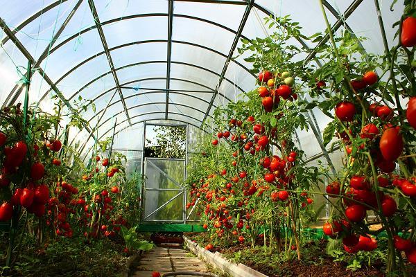 belie prozhilki na tomatah2