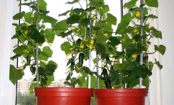 Урожай огурцов на балконе