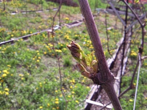 poliv vinograda3