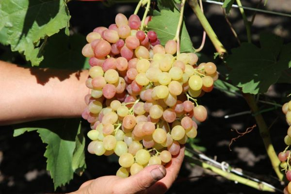 poliv vinograda4