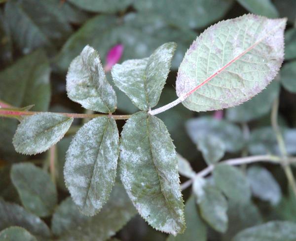 bolezni roz2