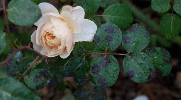 bolezni roz4