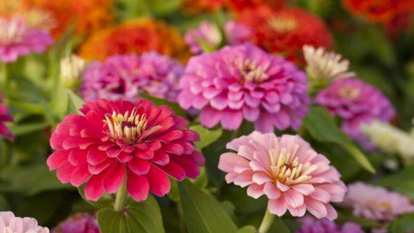 neprihotlivie zveti1