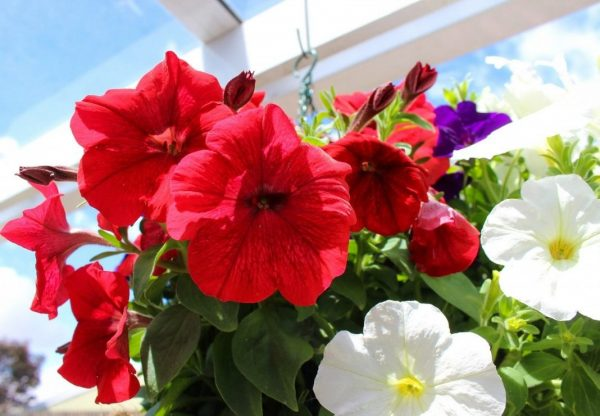 neprihotlivie zveti2