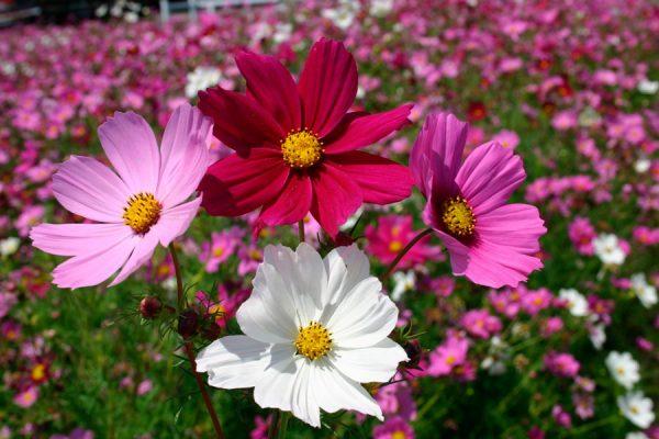 neprihotlivie zveti4