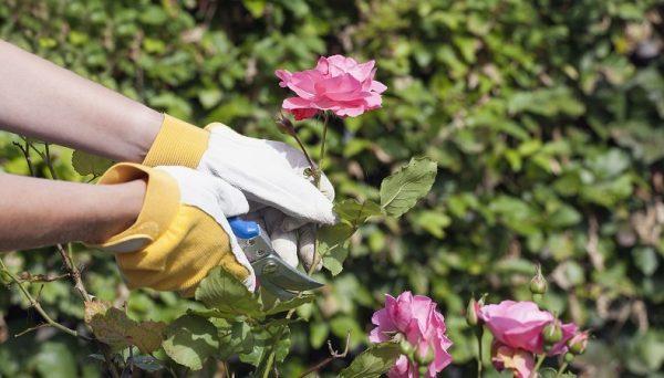 rozi dlya srezki1