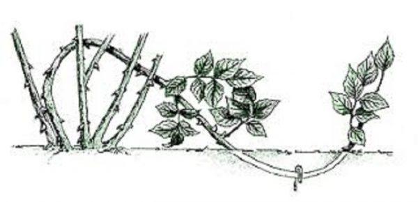 rozi dlya srezki3