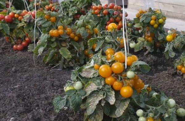 pasinkovaty tomati5