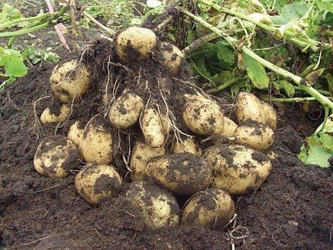 podkormka kartofelya