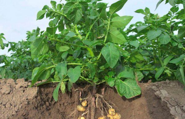 podkormka kartofelya7