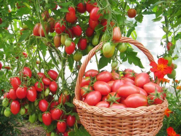 podvyazka visokoroslih tomatov7