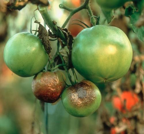 spasti pomidori