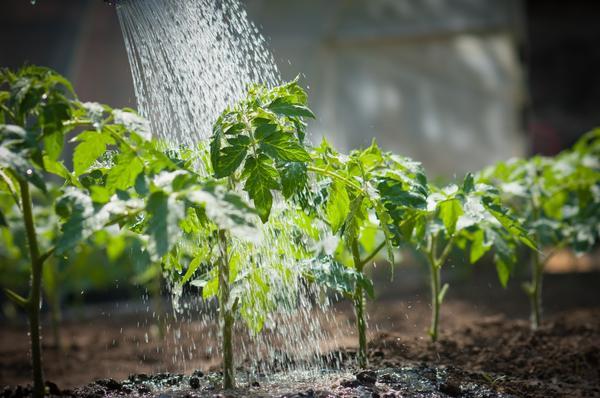 spasti pomidori2