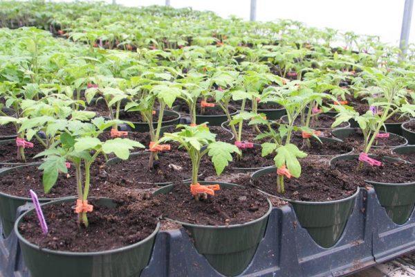 tomati po dva v lunku3