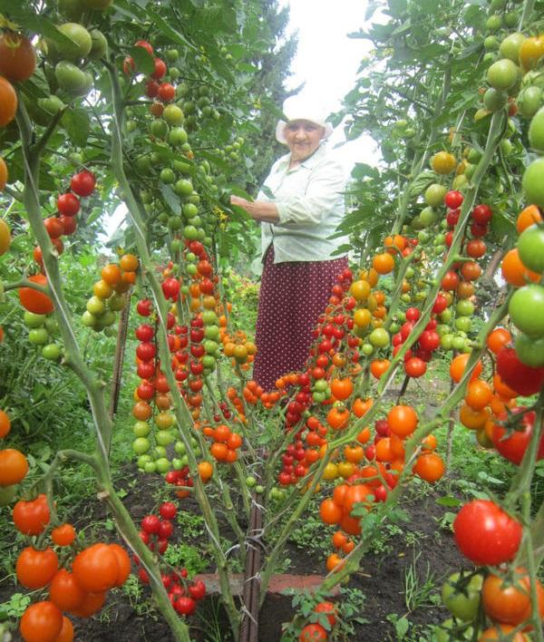 tomati po dva v lunku5
