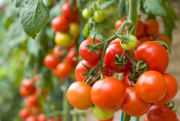 tomati v iyule 1