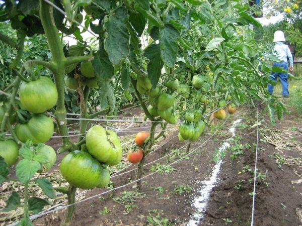 tomati v iyule3