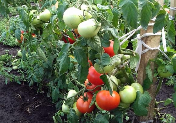 tomati v iyule7