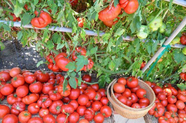 urozhay pomidor