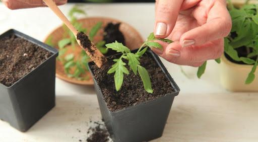 urozhay pomidor5