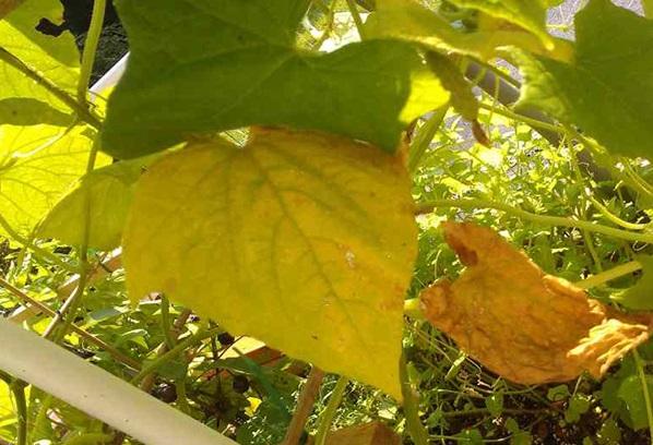 Что делать, если у огурцов желтеют и сохнут листья