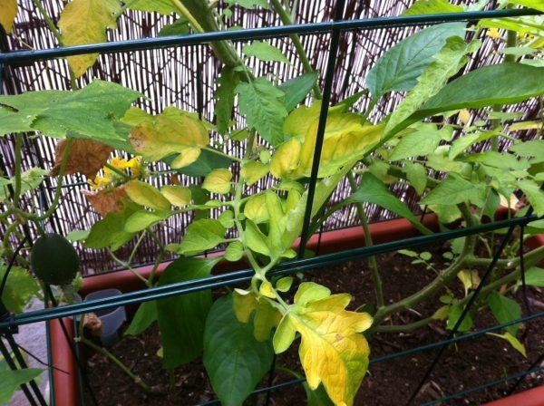 zhelteyut listya tomatov4