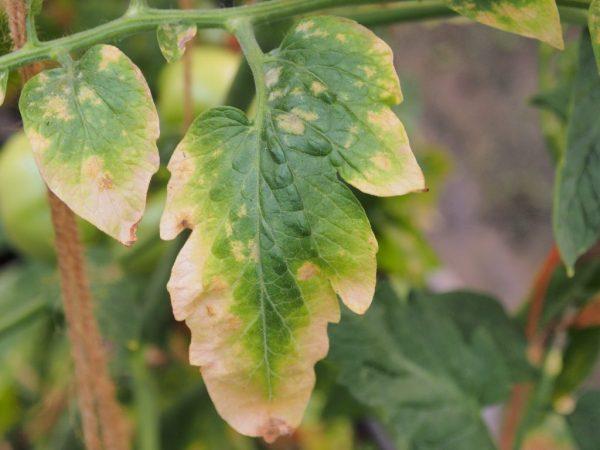 zhelteyut listya tomatov6