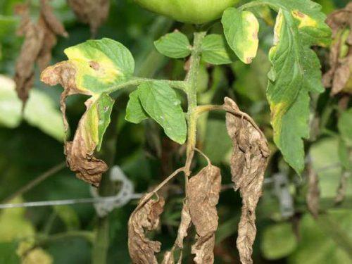 zhelteyut listya tomatov7