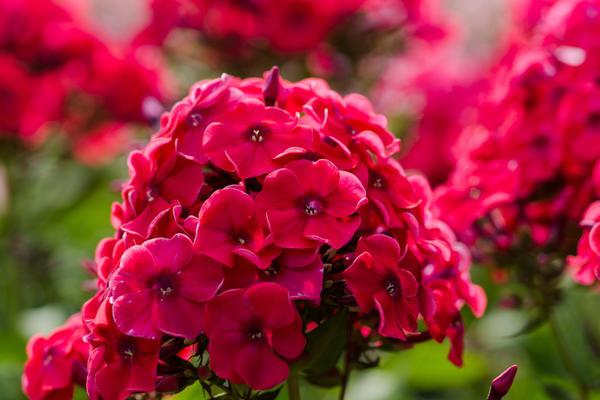 zveti v iyune7