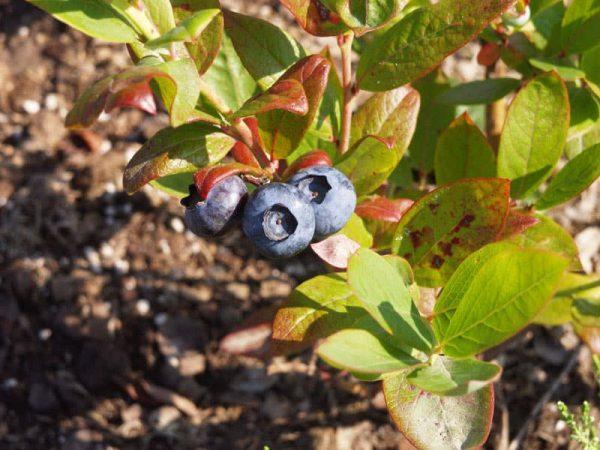 Почему краснеют листья на голубике