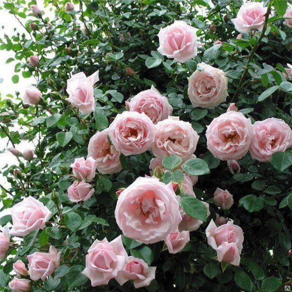 morozostoykie rozi2 1