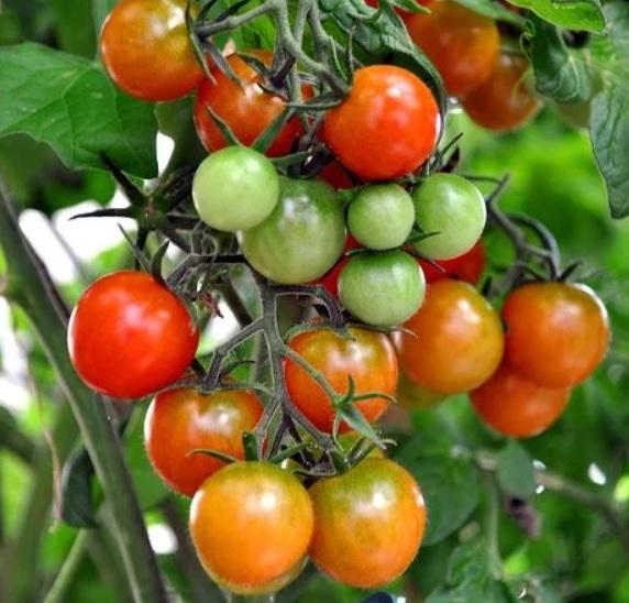 perekisy vodoroda tomati2