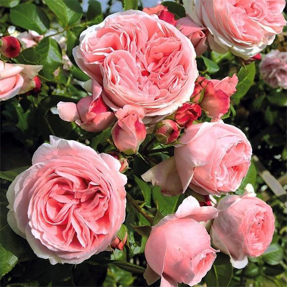Чтобы розы пышно и долго цвели
