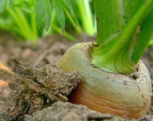 zelenaya morkovy2